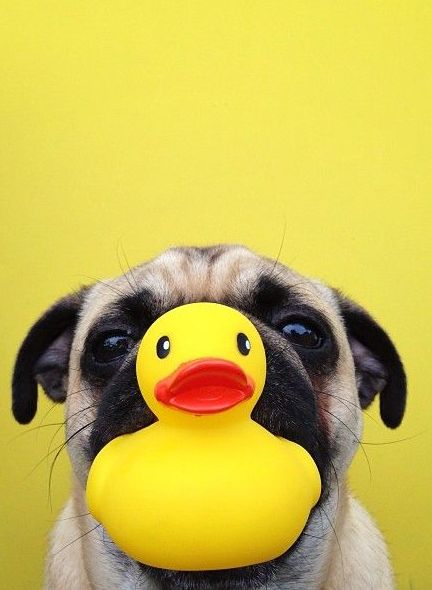 puppy + rubber ducky.
