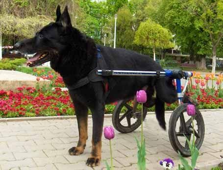 Bet Hound Wheelchair Goldenacresdogs
