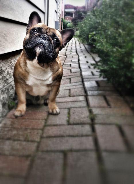 Well, Hello i am a french bulldog