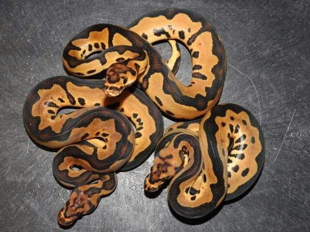 Leopard Clown Ball Pythons