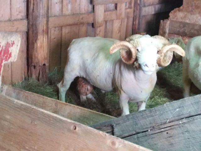 Yearling Horned Dorset Ram for sale | livestock | Truro | Kijiji