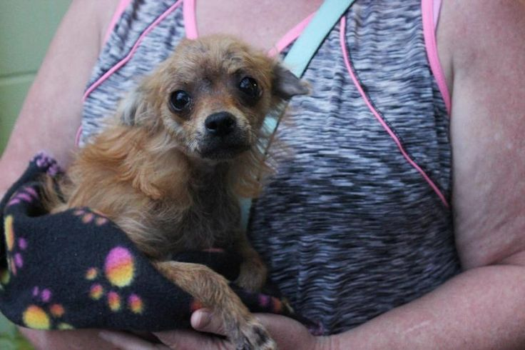 Adopt Lizzie on Pomeranian chihuahua mix, Chihuahua