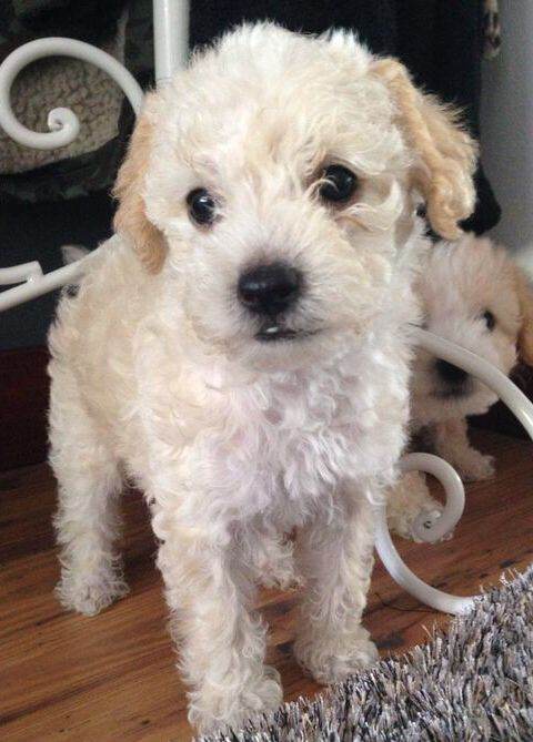 78 Best Images About Jack Russell S And Poodle Crosses On Pinterest Spaniels Jack O Connell