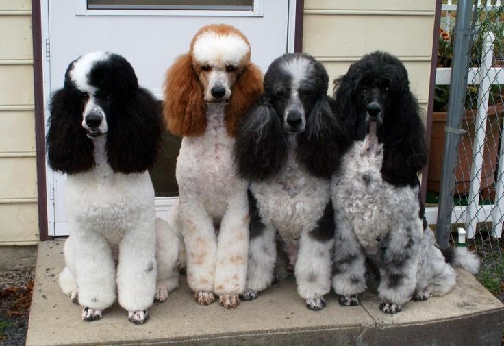 Adorable standard parti poodles. Love them! #dogs #poodles #parti #standard