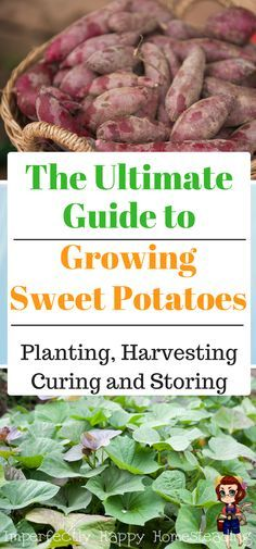 Growing Sweet Potatoes - everything you need to know about planting, harvesting, curing and storing sweet potatoes. An awesome summer garden vegetable.