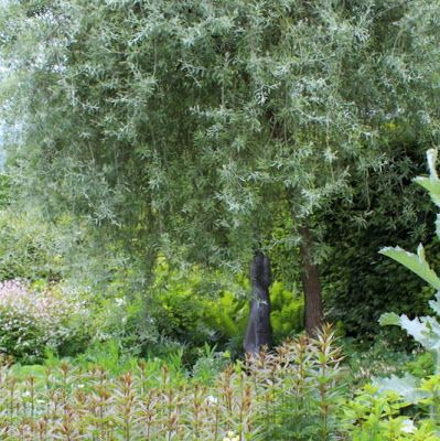PILEBLADET PÆRE - Pyrus salicifolia 'Pendula'