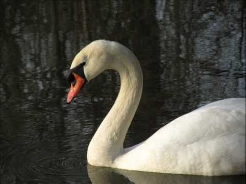 The swan / Der Schwan (Cello Annika Lilje).wmv - YouTube