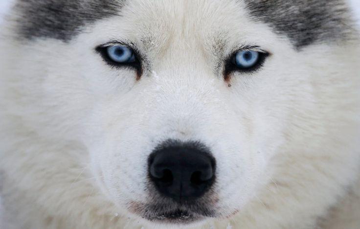 Husky in Russia - Ardan News