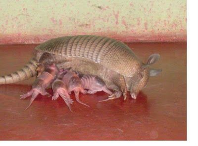 I always forget that Armadillos are mammals