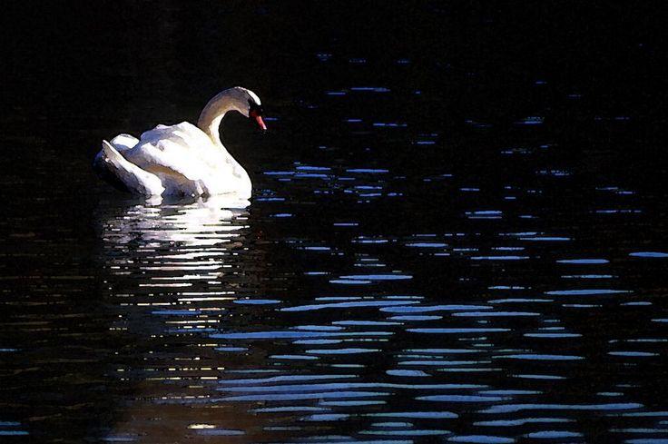 Dropbox - Silver Swans wc4x6.jpg