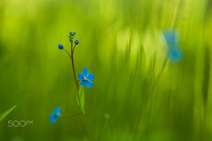 Little - little blue flowers with faded bokeh in the grass