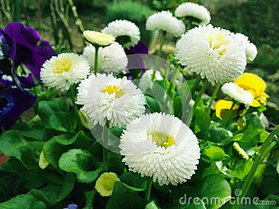 Download Daisy Flowers Royalty Free Stock Image for free or as low as 0.68 lei. New users enjoy 60% OFF. 22,949,468 high-resolution stock photos and vector illustrations. Image: 39875356