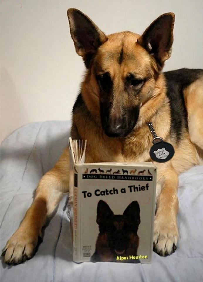 """""""Don't interrupt me.  I've got a test coming up and I've got to be prepared.""""  K-9's are sworn officers.  Notice the badge around his neck."""