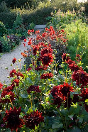 050910_038 Dahlias and nasturtiums lining the gravel path in the vegetable garden at Perch Hill. Dahlia 'Rip City' in the foreground with D. 'Bishop of Lancaster' beyond. Design: Sarah Raven, Perch Hill