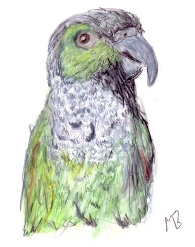 Early drawing of Billy, Green Conure Parrot, created using watercolour pencils.