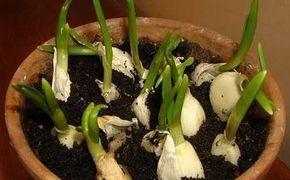 Come coltivare aglio in vaso - L'aglio è una delle piante più semplici ed economiche da coltivare in vaso, a casa