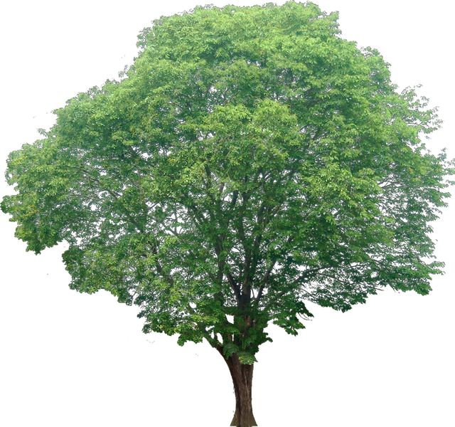 20 Tree PNG Images (Free Cutouts) for Architecture, Landscape, Interior Renderings   Dzzyn