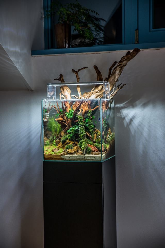 """An aquascape by Voladuson: """"Big wood in small tank"""" Pass or fail? We like it, quite a bit!"""