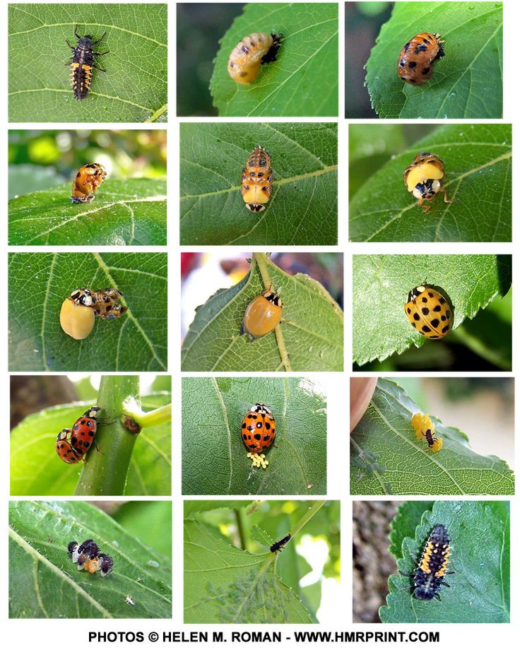 This is a great series of images of the life cycle of a Ladybug.