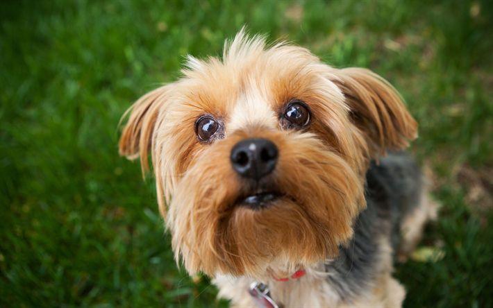 Lataa kuva Yorkshirenterrieri, Lemmikit, söpöjä eläimiä, koirat, vihreä ruoho, koriste koira