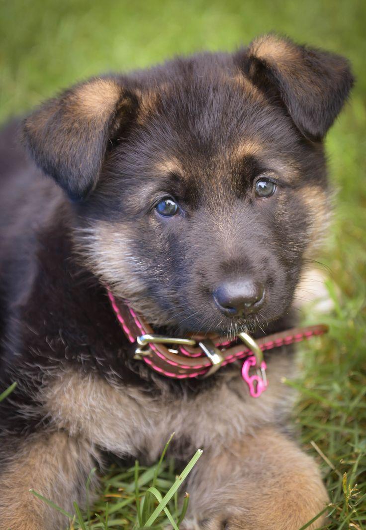 #germanshepherds #dogs