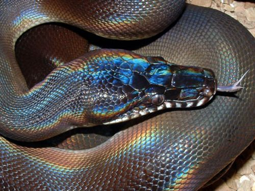 Beautiful irridescence what kind of snake?
