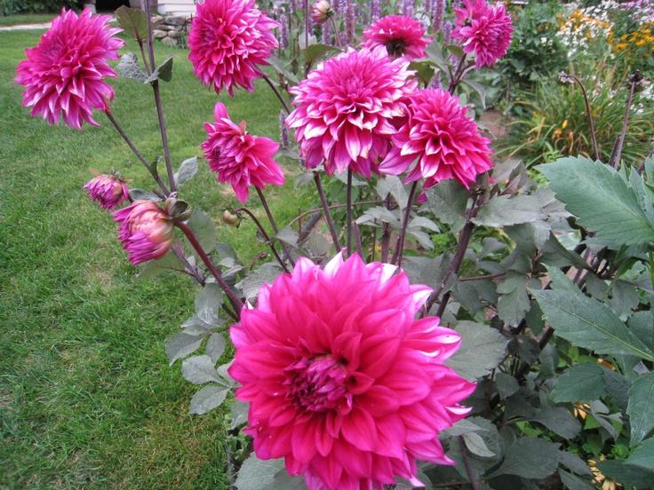 The lovely dahlia...: Highfield Gardens, Favorite Annual
