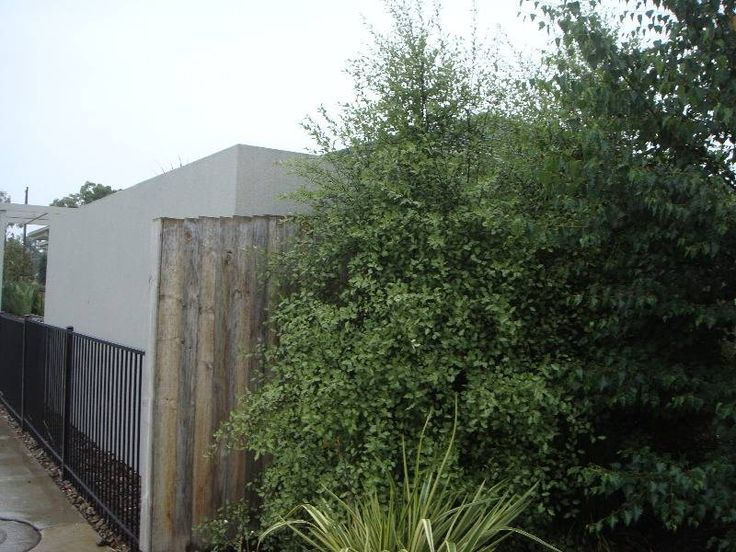 Pittosporum tenuifolium 'silver sheen'- privacy hedge possibility