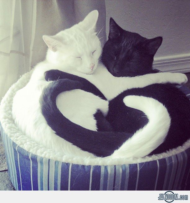 love! see the heart between the tails? and they are opposites attract,