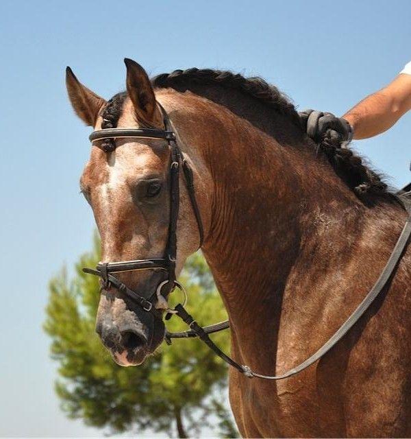 les 25 meilleures id es concernant pure race espagnole sur pinterest chevaux cheval gris et. Black Bedroom Furniture Sets. Home Design Ideas