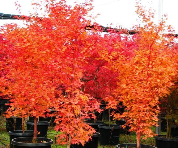 japanese maple sango kaku acer palmatum sango kaku fall color acer palmatum sango kaku. Black Bedroom Furniture Sets. Home Design Ideas