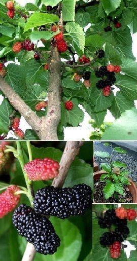 """Schwarzer Maulbeerbaum """"Morus nigra"""" .....Blühbaum mit leckeren Beeren / Saatgut de.picclick.com"""