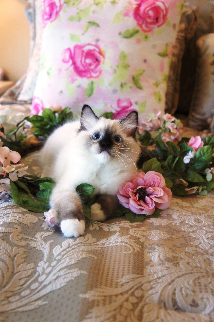 Adorable Grand Champion Ragdoll Kittens For Adoption   Riterags Ragdolls