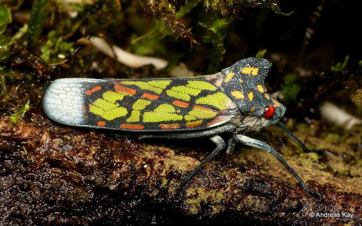 https://flic.kr/p/235VXok | Leafhopper, Proconia marmorata, Cicadellidae | from Ecuador: www.flickr.com/andreaskay/albums