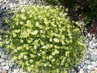 Moonbeam Coreopsis Potted Perennial Live Plant