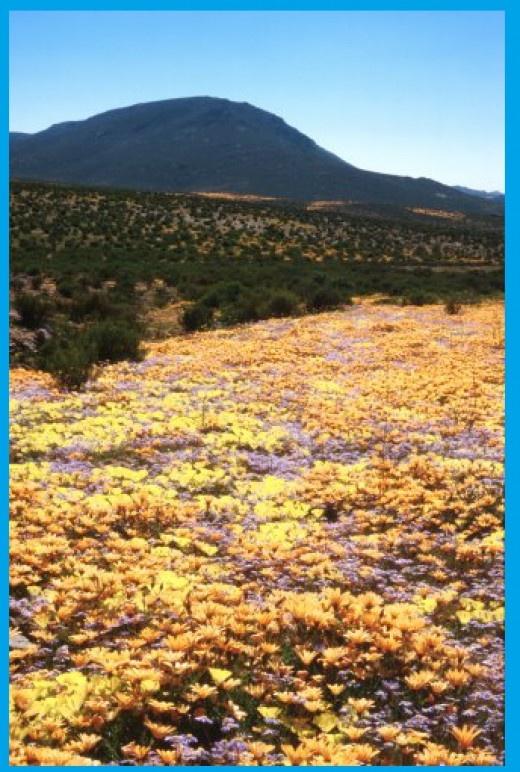 Massed spring annuals near Steinkopf, North West Cape