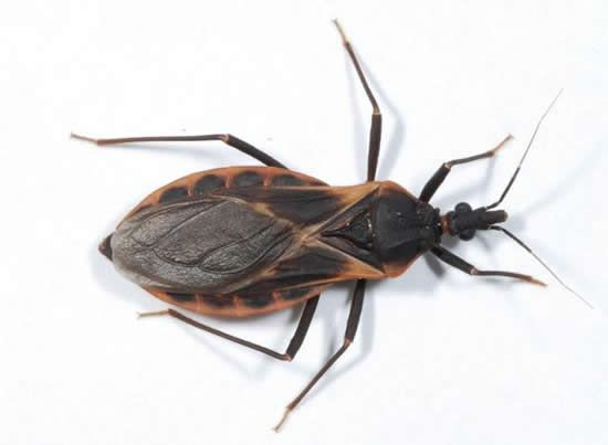 O Barbeiro | Um Parasita que Transmite a Doença de Chagas - http://www.planetaselvagem.com/o-barbeiro-um-parasita-que-transmite-a-doenca-de-chagas/