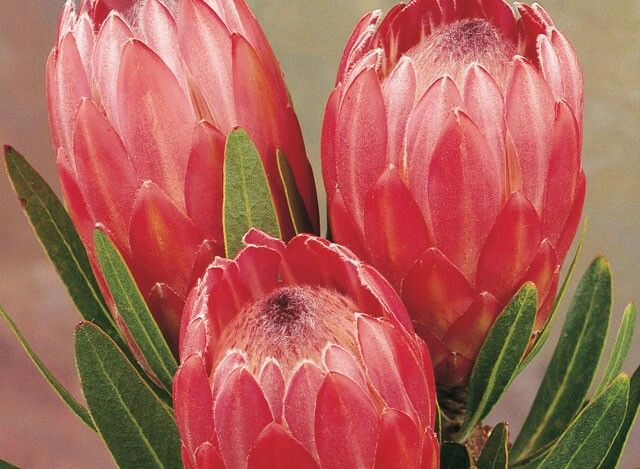 Protea pink ice,  hardiest of all proteas. 2.5m x 2m.