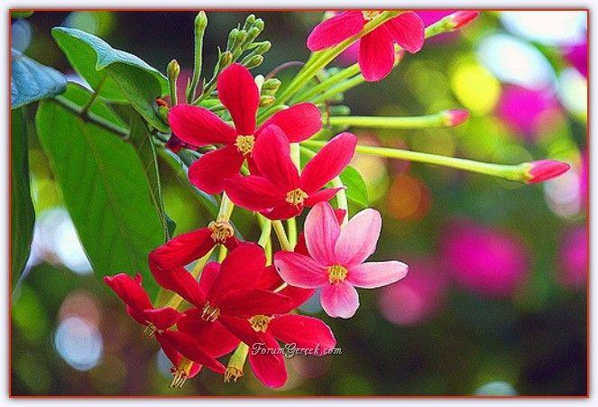 Çin Hanımeli Çiçeği (Bindallı Sarmaşığı) - Forum Gerçek