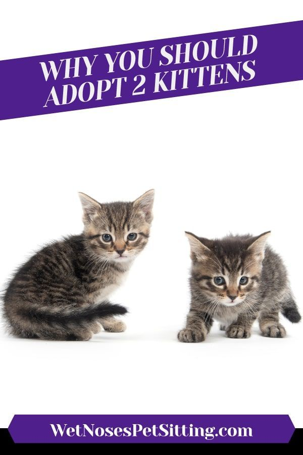 Why You Should Adopt 2 Kittens In 2020 Cat Adoption Kittens Cat Sitter