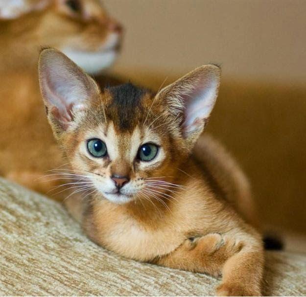 Amazing Cat: Best 20+ Toyger Cat Ideas On Pinterest