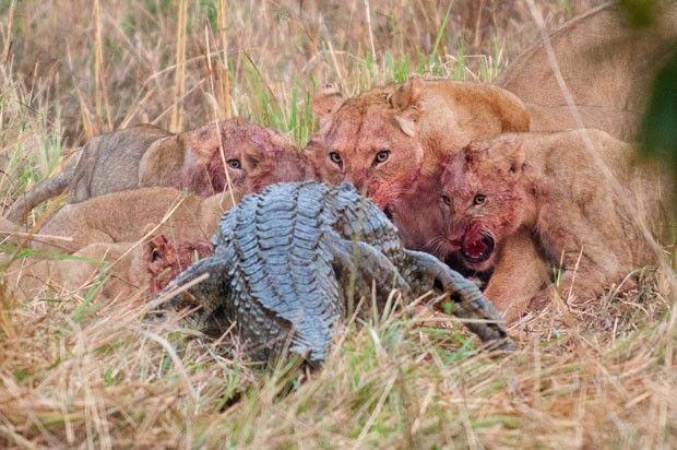 Turistas em viagem pela África registraram o momento em que um um crocodilo-do-Nilo com mais de 3 metros de comprimento tentava roubar um antílope que servia de alimento para um grupo de leões.