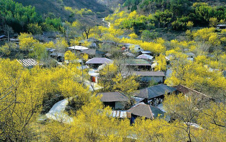 Gurye Sansuyu Festival (구례 산수유 축제)