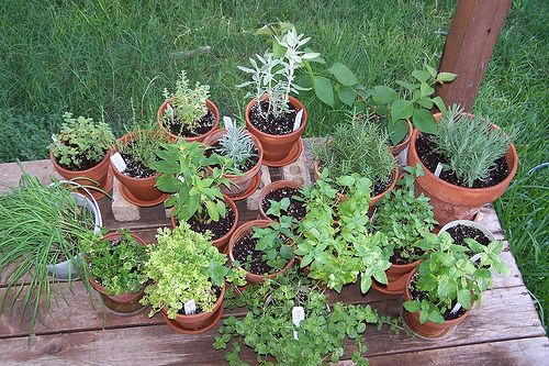 Herbs in clay pots...
