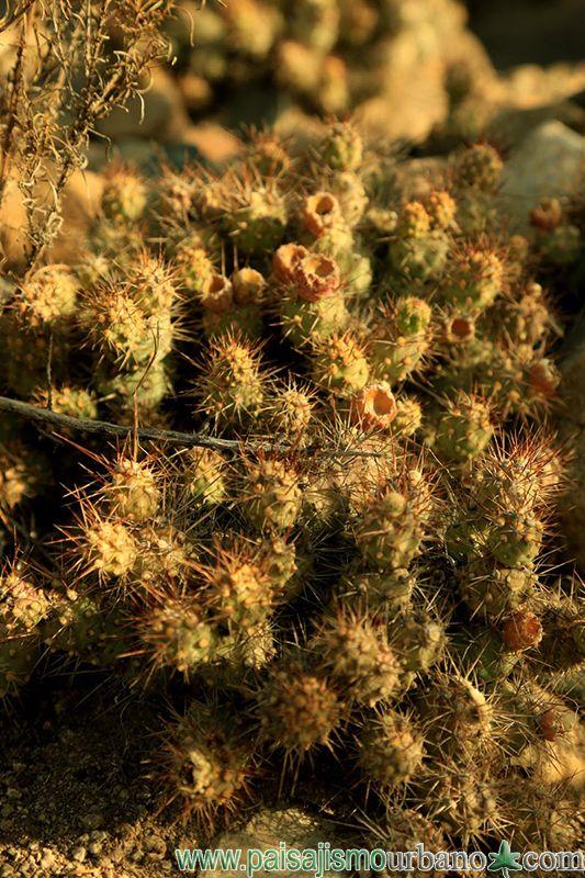 Cumulopuntia boliviana, forma a menudo grupos densos. Los tallos son de color verde, en forma de huevo de 3,5 a 7 cm de largo y en su cabeza tuberculados ligeramente. Las jorobas están claramente limitadas al principio, pero más tarde sólo discernible débilmente. Tiene aproximadamente 15 areolas situado cerca de los picos. La parte superior de ellas tienen espinas de 3 a 10 cm de largo. Las flores amarillas pueden alcanzar longitudes de hasta 4 cm.