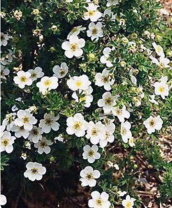 Potentilla fruticosa Abbotswood - Feuilles + Fleurs