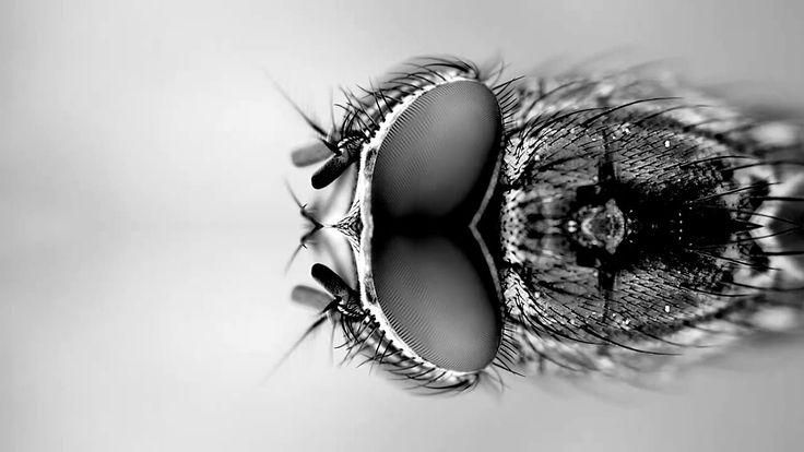 """""""Las Moscas"""" de Horacio Quiroga .  El halo evocador que generan estas diminutas y molestas criaturas, capaces de oler la podredumbre a km de distancia, asociadas con frecuencia a la cercanía de la muerte y la tragedia. No en vano la vida del Maestro Quiroga cuenta con más #muertes trágicas que una #tragedia Griega. #audiorelatos #cuentos #audiolibros #noviembrenocturno #moscas #horacioquiroga"""