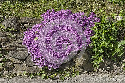 Bright small purple flowers very close together in rock garden in Rożnów village . Poland