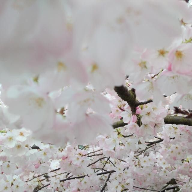 #cherryblossoms #springtime #VancouverBC #Blackberryphoto  Not all are gone yet. These are still at their glorious peak. Oh how great it is to see them and to freeze the moment!