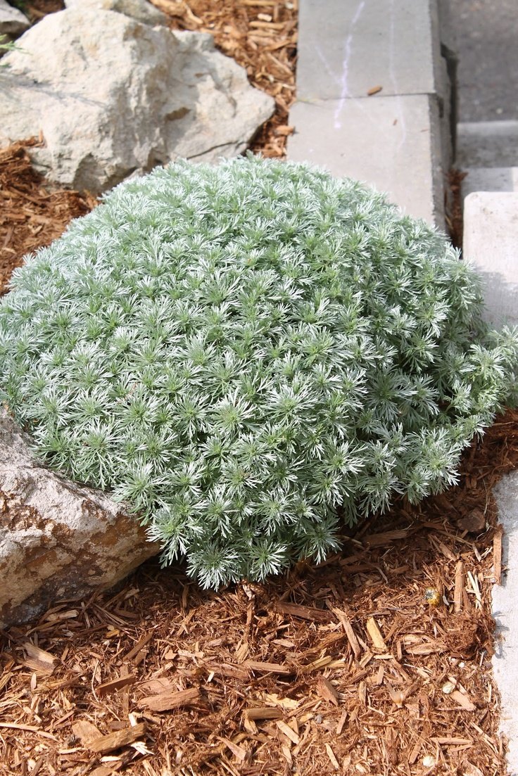 13 best non flowering plants images on pinterest flowering favorite non flowering plant the silver mound a plant youll want dhlflorist Image collections